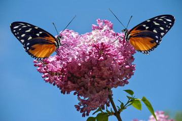 Syringa vulgaris with a Heliconius hecate butterfly