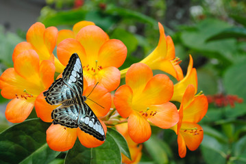 Tropical Rhododendron simbu sunset with blue butterfly
