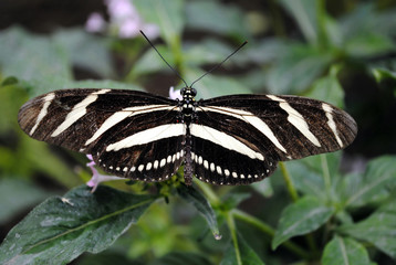 Zebra Longwing Butterfly Latin name Heliconius charitonius
