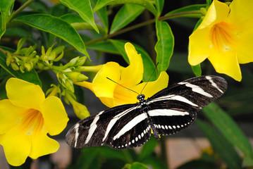 Zebra Longwing butterfly on a Allamanda cathartic flower