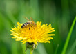Bee on yellow dandelion.