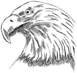 Adler Seeadler Habicht Raubvogel Zeichnung Kopf