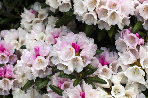White and pink blush rhododendron flowers close-up.