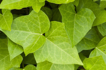 Ivy green leaves