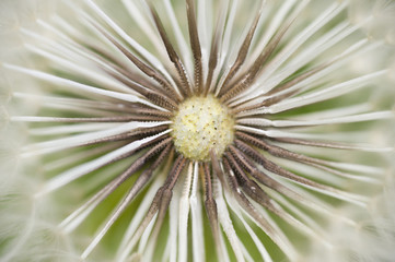 Dandelion seed cap ready to fly away,
