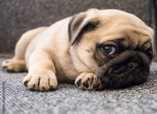 puppy pug - 65050115