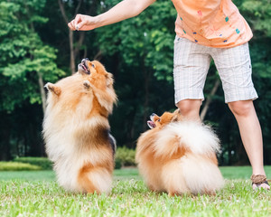 Pomeranian dog standing on its hind legs to get a treat
