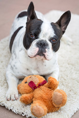 French bulldog lying down with his teddy bear