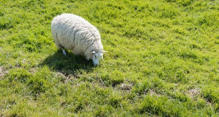 Grazing sheep with thick woolen coat