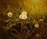 Seeds on dandelion