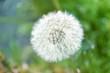 Obrazy na płótnie, fototapety, zdjęcia, fotoobrazy drukowane : White fluffy dandelion