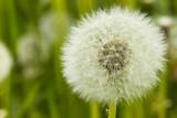 Dandelion Seeds - 65063916