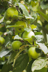 Some green apples on apple-tree branch