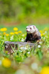 ferret portrait outdoors