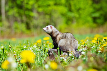 pet ferret outdoors