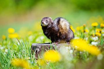 dark ferret portrait