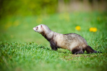 ferret walking outdoors