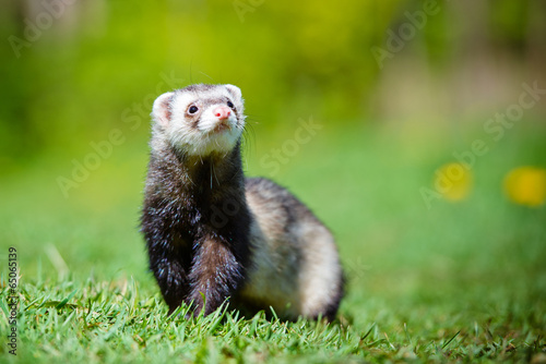 adorable ferret portrait