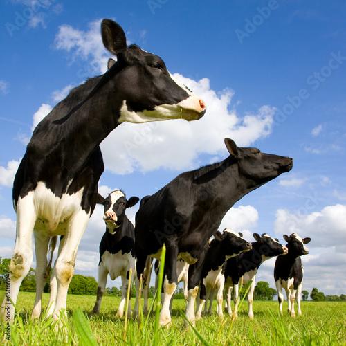 Foto op Aluminium Koe Holstein cows