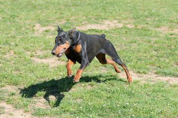 Running Doberman