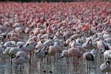 Flamingos am Lake Naivasha, Kenia
