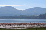 Flamingos am Lake Naivasha, Kenia
