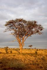 Lone acacia tree at sunset