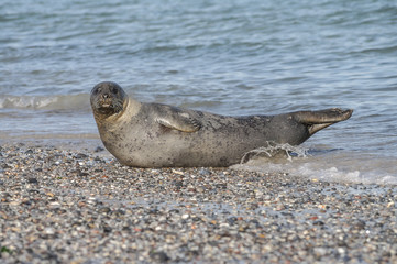 Colony of seals at Helgoland island, Germany