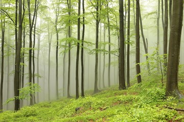 Beech trees surrounded by fog on a rainy spring day