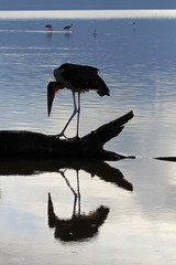 Marabu im Wasser