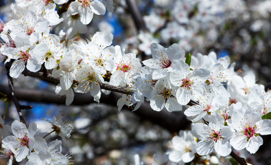 Bush blossoming plum
