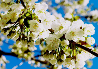 Cherry flowers on blue sky background
