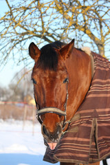 Brown horse portrait in winter