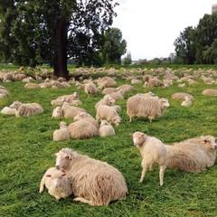 Schafe in Herde