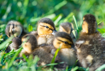 Eye on You. Group of Mallard Ducklings