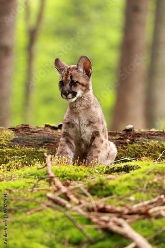 Foto op Plexiglas Puma Puma kitten