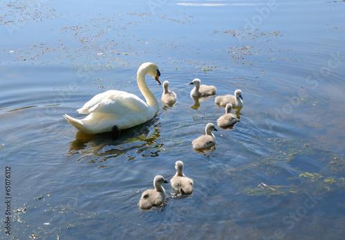 Foto op Plexiglas Zwaan Schwan mit Küken auf dem See