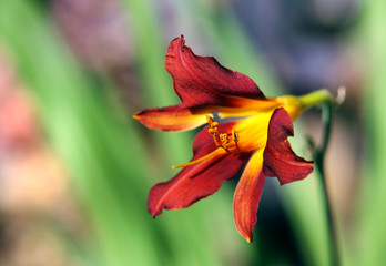 A beautiful dark red yellow lily