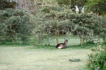 A waterbuck relaxing in the jungle near lake Naivasha