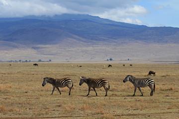 Drei Zebras im Ngorongoro Krater, Tansania