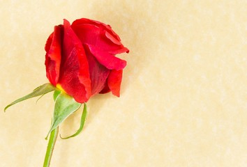 top of view of red rose on parchment paper background