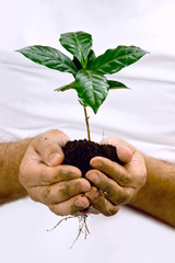 Hands taking green coffee plant.