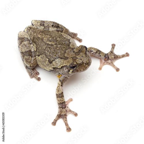 Foto op Plexiglas Kikker Treefrog