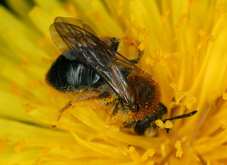 Early mining bee, Andrena haemorrhoa on dandelion