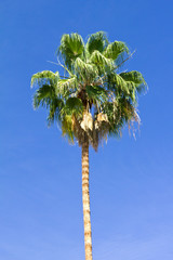 Tall Palm Tree on Blue Sky Background