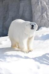 Polar bear walking on snow.