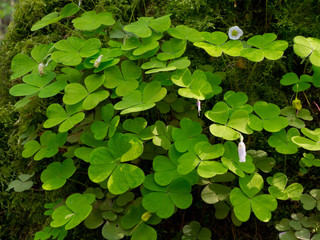 Wood-sorrel plant closeup