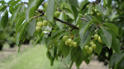 Green cherries on a branch