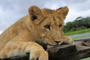 junger Löwe, Portrait