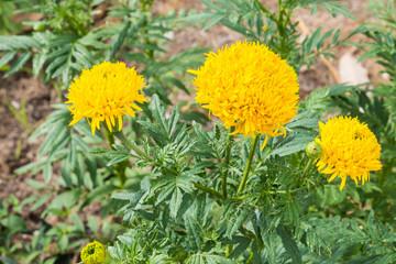 Yellow marigold flowers.